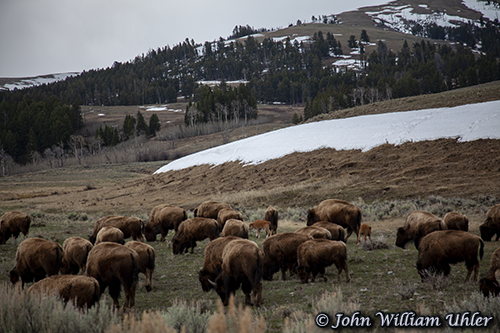 Buffalo herd and calves Spring 2019 © Copyright John William Uhler All Rights Reserved