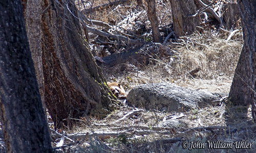 Yellowstone Cinnamon Bear taken Spring 2019 ~ © Copyright All Rights Reserved John William Uhler