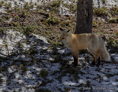 Yellowstone Red Fox taken Spring 2019 ~ © Copyright All Rights Reserved John William Uhler