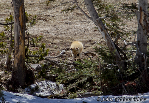 Yellowstone Red Fox mousing taken Spring 2019 ~ © Copyright All Rights Reserved John William Uhler