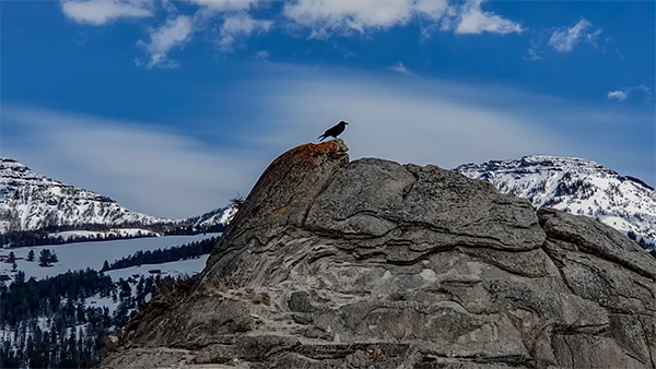 Yellowstone Raven on the Soda Butte Cone taken Spring 2019 ~ © Copyright All Rights Reserved John William Uhler