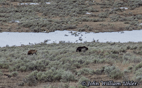 Yellowstone Sow Grizzly and Cub taken Spring 2019 ~ © Copyright All Rights Reserved John William Uhler
