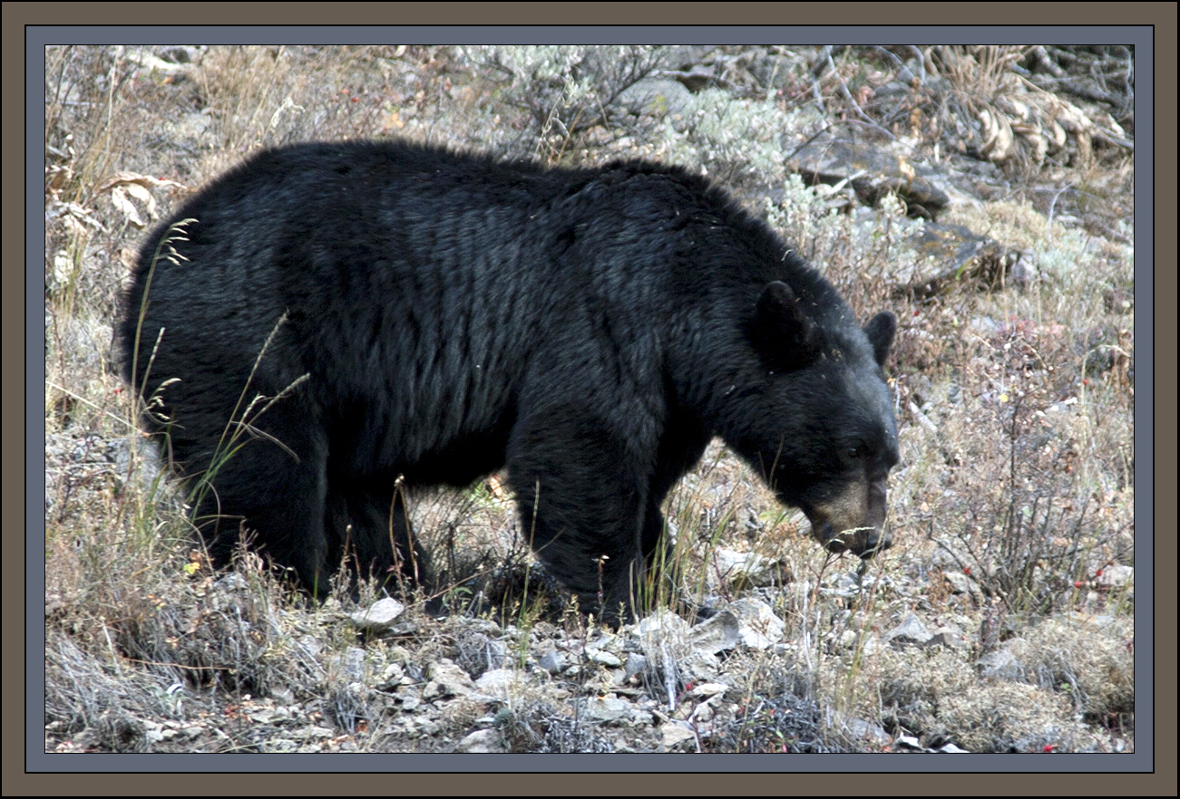 Black Bear by John William Uhler ©; Copyright All Rights Reserved