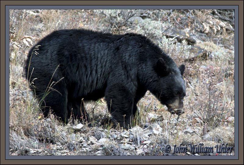 Black bear by John William Uhler © Copyright All Rights Reserved