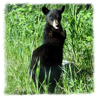 Black bear cubs by John William Uhler Copyright © All Rights Reserved