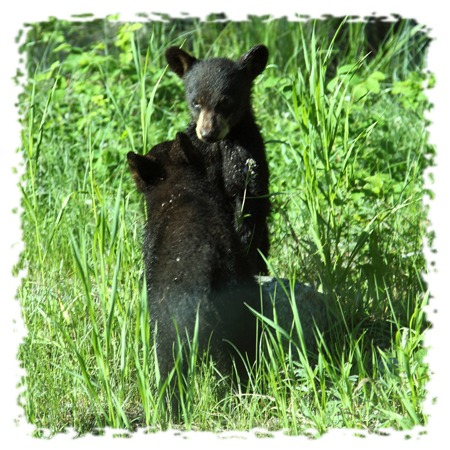 Black bear by John William Uhler Copyright © All Rights Reserved