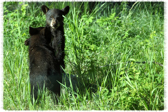 Black bear cubs by John William Uhler © Copyright All Rights Reserved