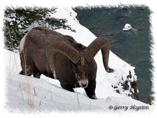 Yellowstone Bighorn Sheep ~ © Copyright All Rights Reserved Gerry Hogston