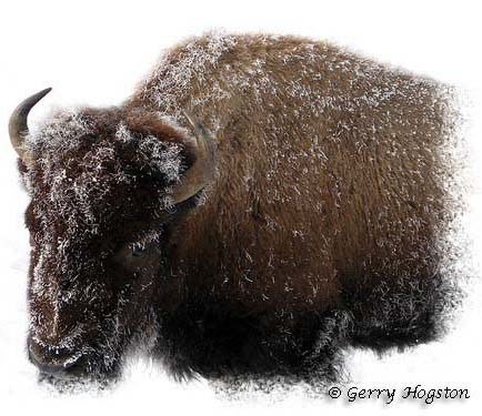 Yellowstone Buffalo ~ © Copyright All Rights Reserved Gerry Hogston