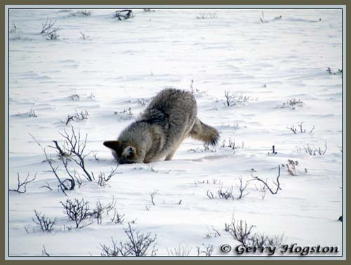 Coyote mousing at Nature Trail ~ © Copyright All Rights Reserved Gerry Hogston