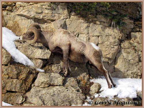 Bighorn Ram ~ © Copyright All Rights Reserved Gerry Hogston