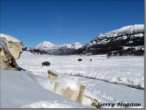 Buffalo by Soda Butte Cone ~ © Copyright All Rights Reserved Gerry Hogston