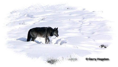 Yellowstone Wolf ~ © Copyright All Rights Reserved Gerry Hogston