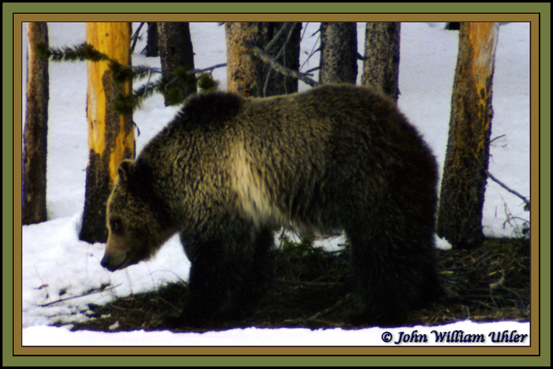 Grizzly Bear Number 264 take 20 April 1998 by John William Uhler © Copyright John William Uhler ~ All Rights Reserved