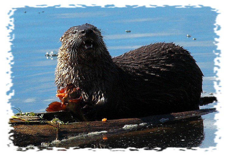 Otter at Trout Lake by John William Uhler © Copyright All Rights Reserved
