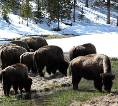 Buffalo grazing by John William Uhler Copyright © All Rights Reserved