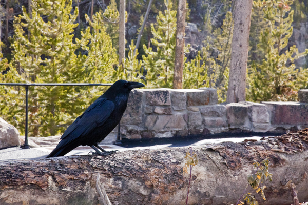 Raven at Gibbon Falls by John William Uhler © Copyright Page Makers, LLC and Yellowstone Media All Rights Reserved