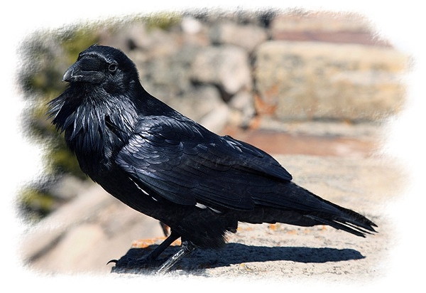 Raven by John William Uhler Copyright © All Rights Reserved