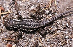 Sagebrush Lizard - NPS Photo