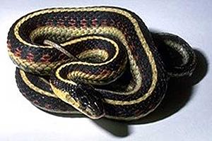 Valley Garter Snake - BLM Photo