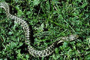 Wandering Garter Snake - NPS Photo