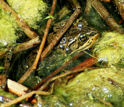 Spotted Frog by John William Uhler © Copyright Page Makers, LLC