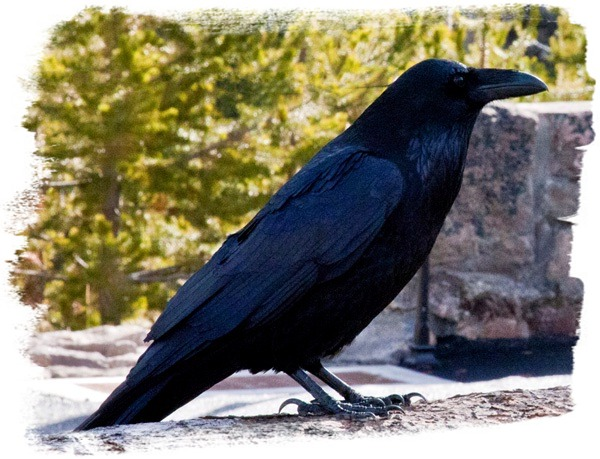 Raven at Gibbon Falls - Yellowstone National Park - by John William Uhler © Page Makers, LLC