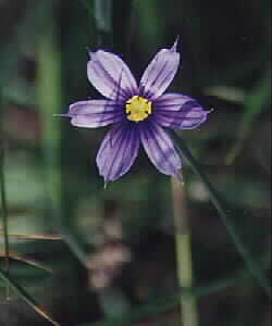 Common Blue-eyed Grass (Sisyrinchium idahoensis)