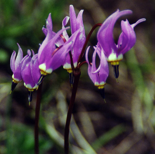 Slimpod Shooting Star (Dodecatheon conjugens) by John W. Uhler © Copyright