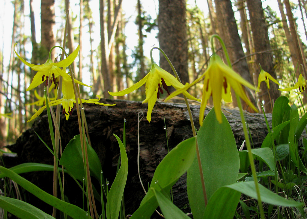 Glacier Lilies by Pat Eftink © Copyright All Rights Reserved