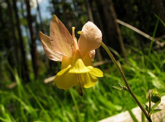 Golden Columbine by Pat Eftink © Copyright All Rights Reserved