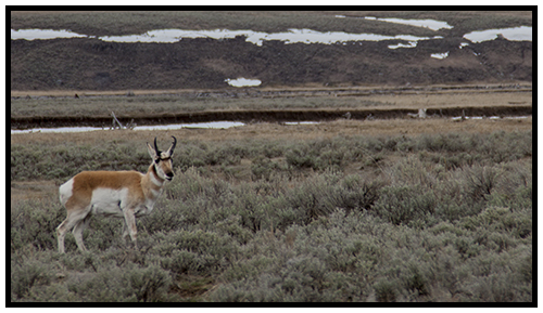 Yellowstone Antelope taken Spring 2016 ~ © Copyright John William All Rights Reserved
