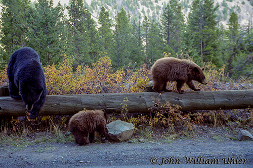 Black Bear Sow and Cinnamon Cubs ~ © Copyright All Rights Reserved John William Uhler