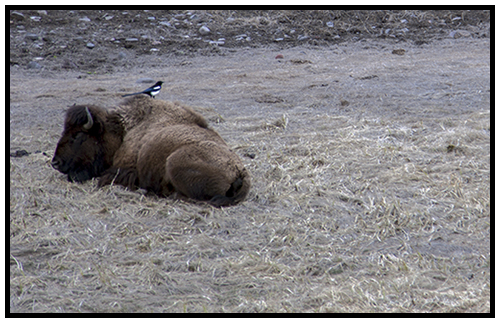 Buffalo and Magpie in Spring 2016 ~ © Copyright All Rights Reserved John William Uhler