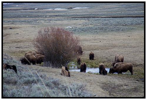 Buffalo in Lamar Valley taken Spring 2016 ~ © Copyright All Rights Reserved John William Uhler