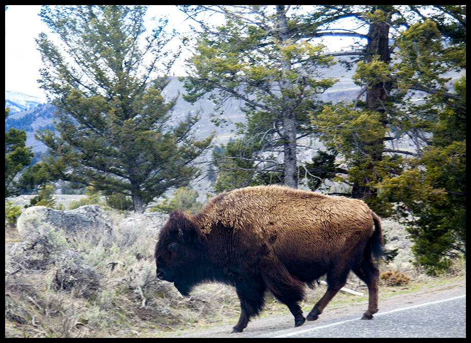 Yellowstone Buffalo taken Spring 2016 ~ © Copyright John William All Rights Reserved