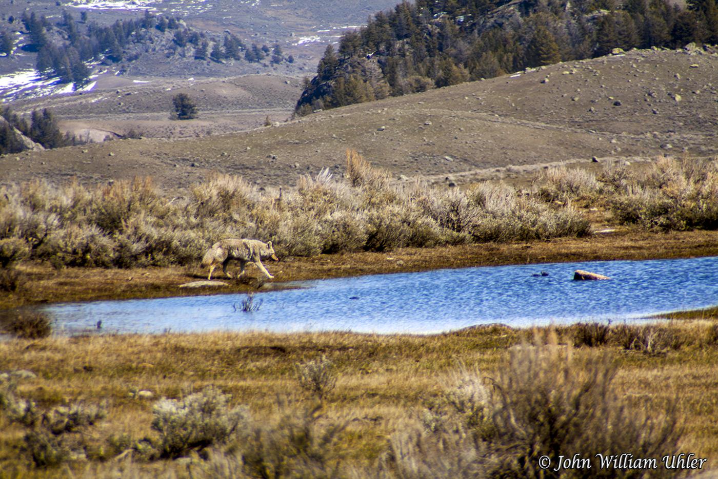 Coyote - Yellowstone National Park © John William Uhler
