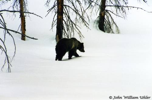 Yellowstone Grizzly Bear ~ © Copyright All Rights Reserved John William Uhler
