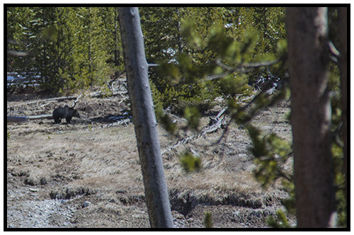 Yellowstone Grizzly Bear taken Spring 2016 ~ © Copyright All Rights Reserved John William Uhler