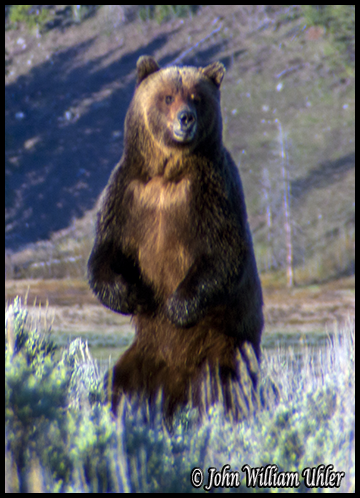 Yellowstone Grizzly Bear taken Spring 2014 ~ © Copyright John William Uhler All Rights Reserved