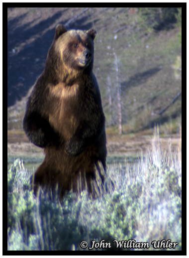 Yellowstone Grizzly Bear taken Spring 2014 ~ © Copyright All Rights Reserved John William Uhler