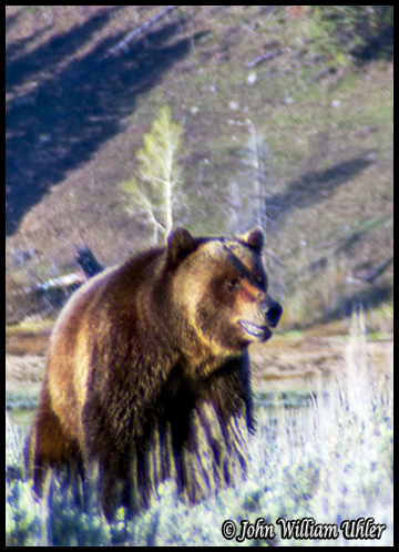 Grizzly Bear by John William Uhler ~ © Copyright All Rights Reserved