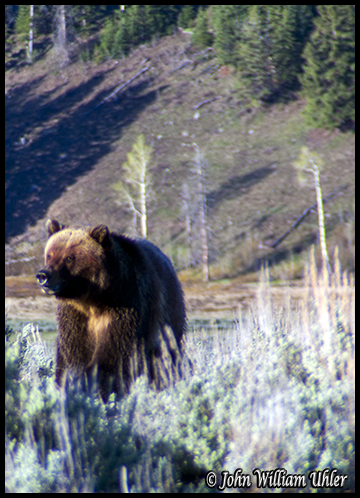 Yellowstone Grizzly by John William Uhler ~ © Copyright John William Uhler All Rights Reserved