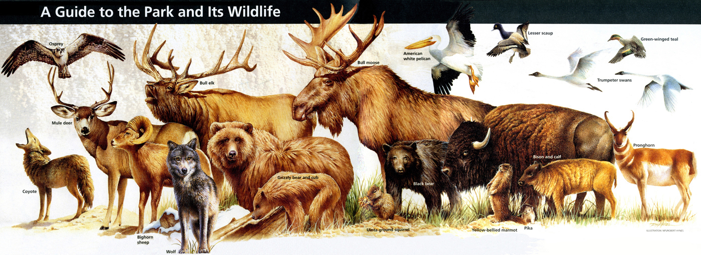 Yellowstone National Park Animals Mammals Yellowstone Up