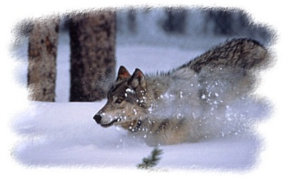 Yellowstone Wolf ~ NPS Photo