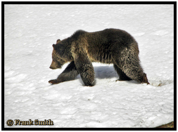 Yellowstone Grizzly Bear taken Spring 2012 ~ © Copyright Frank Smith All Rights Reserved
