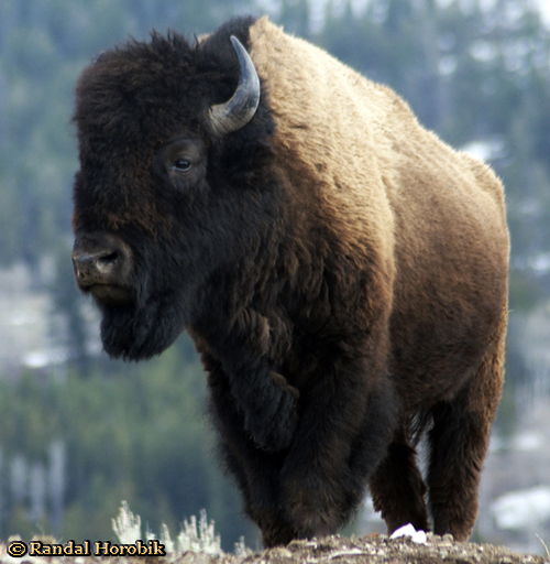 Yellowstone Bison taken Spring 2012 ~ © Copyright Randal W. Horobik All Rights Reserved