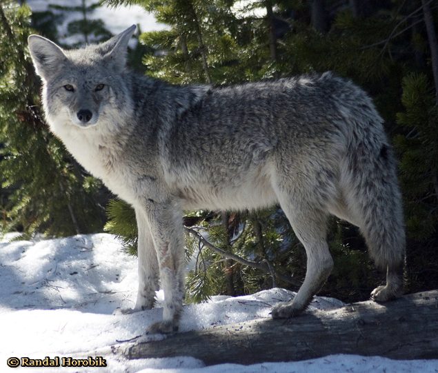 Yellowstone Coyote taken Spring 2012 ~ © Copyright Randal W. Horobik All Rights Reserved