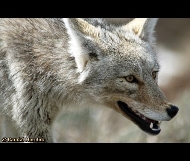 Coyote - Yellowstone National Park © Randal Horobik
