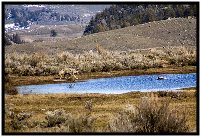 Yellowstone Coyote Spring 2014 ~ © Copyright All Rights Reserved John William Uhler